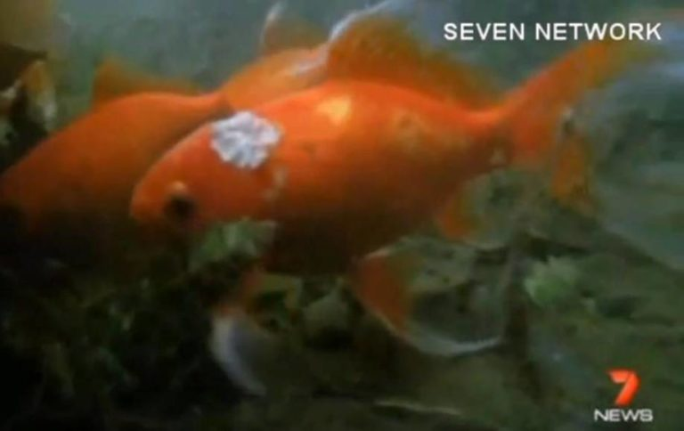 Australian Man Has Tumor Removed From His 10 Year Old Goldfish